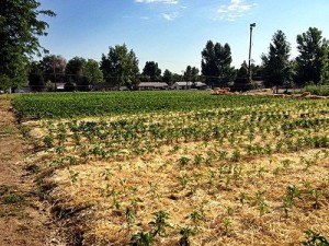 Planted and growing crops with hay to suppress weed growth.