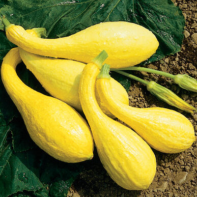 Organic Squash, Tempest (Yellow Crookneck)