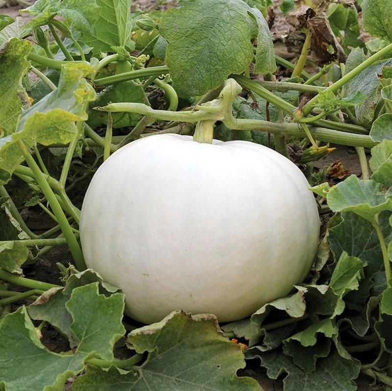 Pumpkin, Shiver (White tabletop)