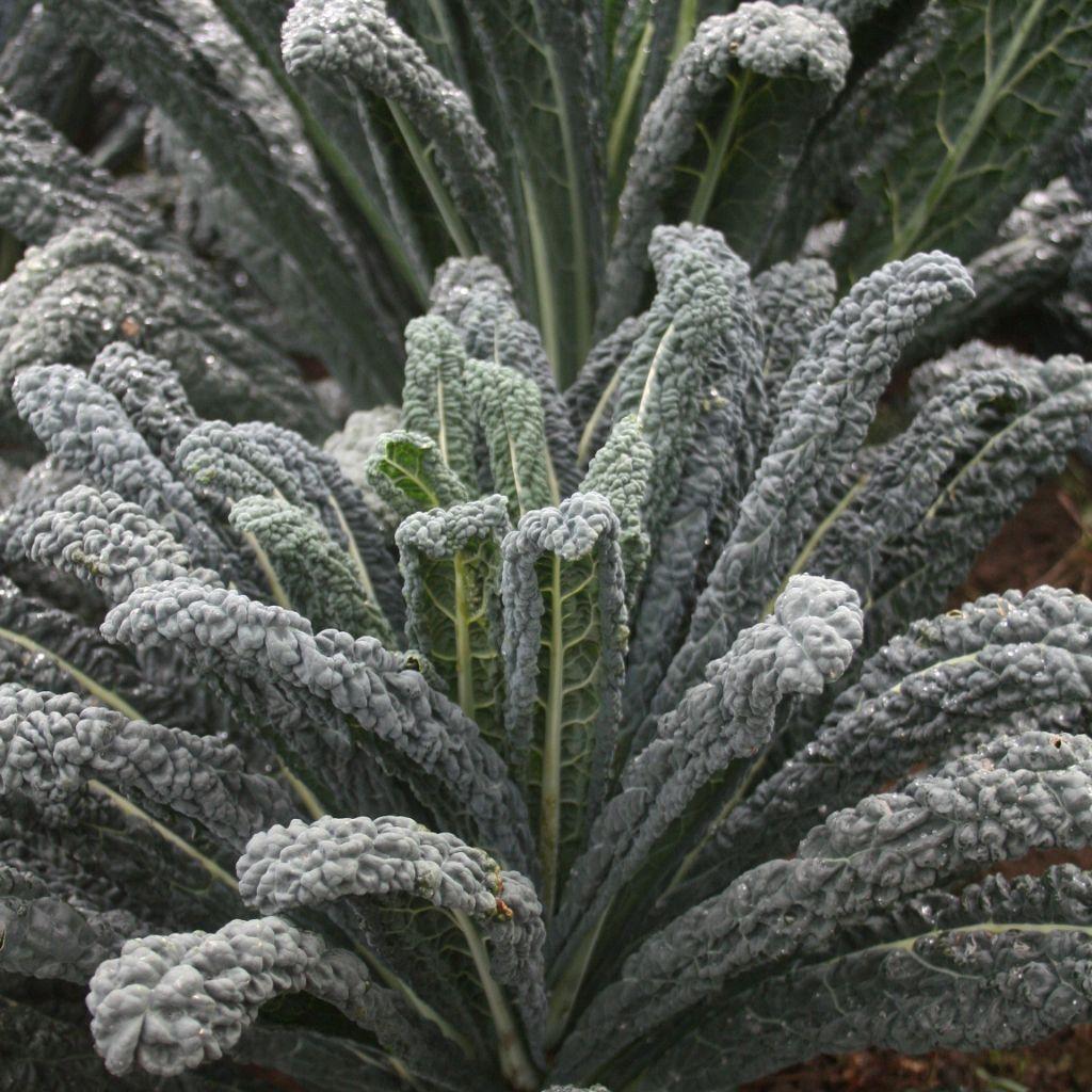 Kale, Black Magic (Lacinato)