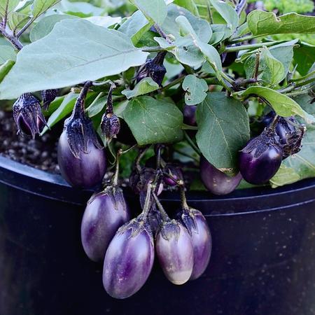 Eggplant, Patio Baby (Container)