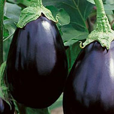 Eggplant, Galine (Traditional/Italian)